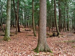 Hartwick Pines 02
