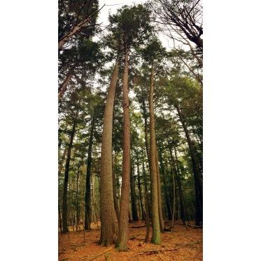 Hartwick Pines 05